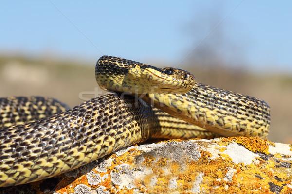 Bereit Streik groß Natur Schlange Skalen Stock foto © taviphoto
