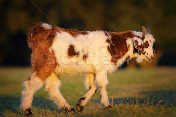 Cute geit jonge lopen weide Stockfoto © taviphoto