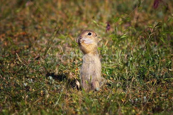 Aranyos föld mókus természetes élőhely európai Stock fotó © taviphoto
