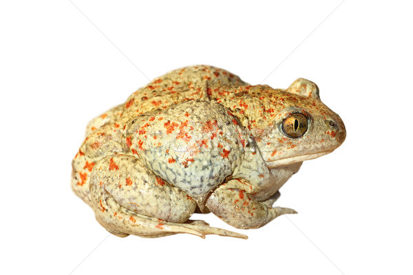 isolated colorful garlic toad Stock photo © taviphoto