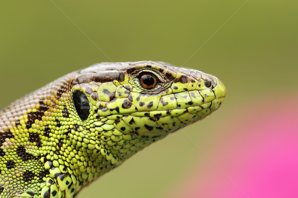 portrait of beautiful male sand lizard Stock photo © taviphoto