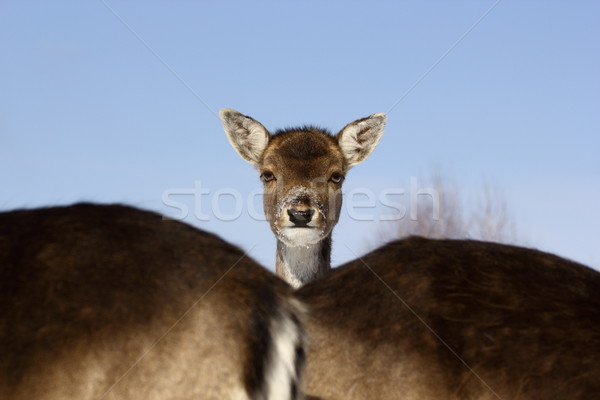 fallow deer baby Stock photo © taviphoto