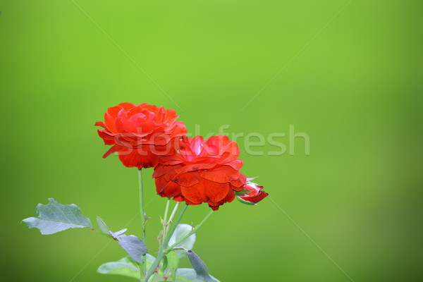 fresh red roses in the garden Stock photo © taviphoto