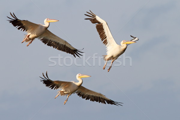 three great pelicans flying Stock photo © taviphoto