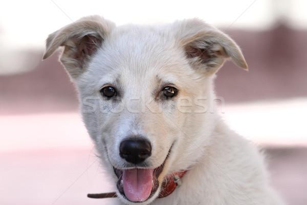 Bonitinho cãozinho retrato jovem cachorro olhando Foto stock © taviphoto