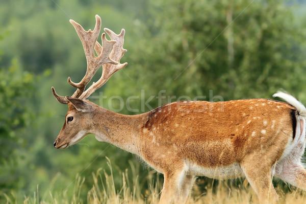 beautiful fallow deer buck Stock photo © taviphoto