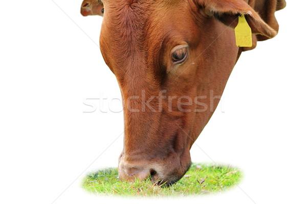 isolated zebu grazing  Stock photo © taviphoto