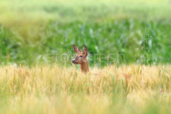 roe deer doe in wheat field Stock photo © taviphoto