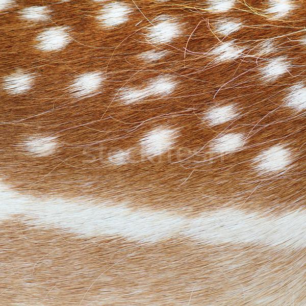 fallow deer real pelt texture Stock photo © taviphoto