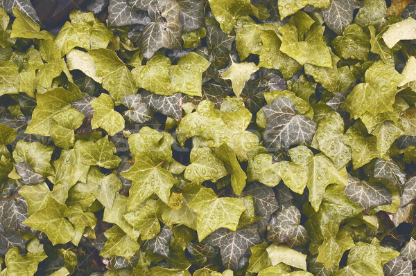 ivy leaves texture Stock photo © taviphoto