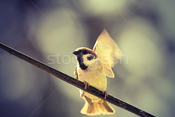 Domu wróbel lotu charakter ptaków Zdjęcia stock © taviphoto