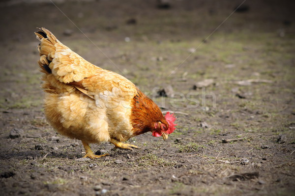 colorful hen foraging for food on the ground Stock photo © taviphoto