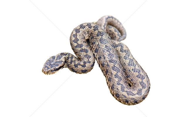 isolated meadow viper Stock photo © taviphoto