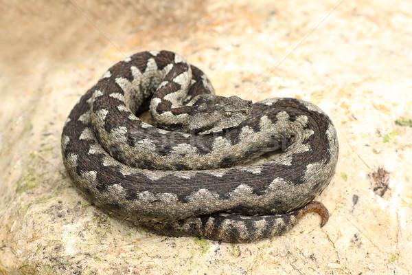 Сток-фото: большой · носа · рок · природы · змеи · опасность
