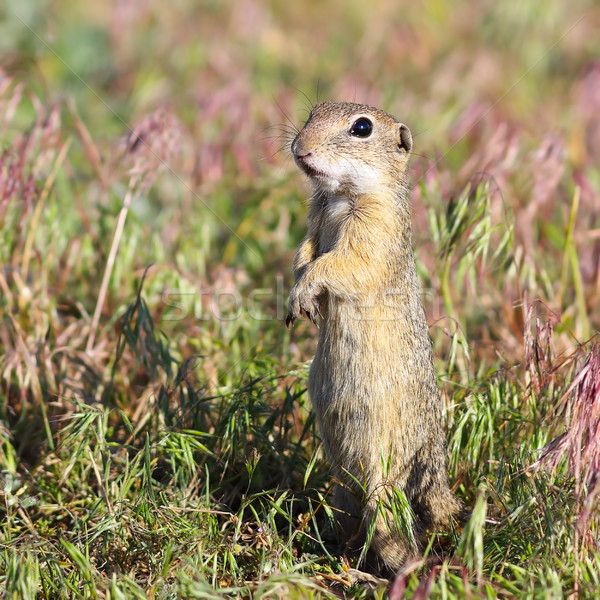 alarmed european ground squirrel Stock photo © taviphoto