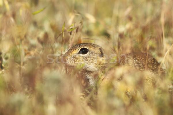 Europese grond eekhoorn verbergen gras hond Stockfoto © taviphoto