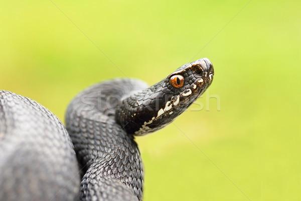 detailed portrait of black female viper Stock photo © taviphoto