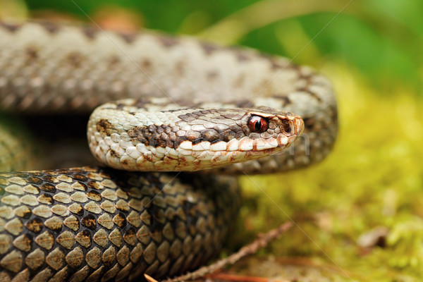 portrait of Vipera berus Stock photo © taviphoto