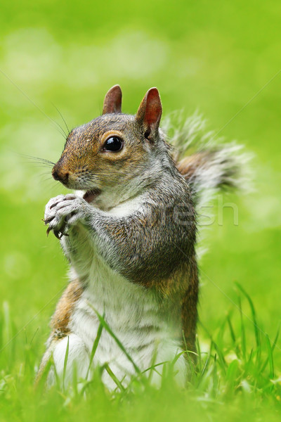 grey squirrel eating nut on lawn Stock photo © taviphoto