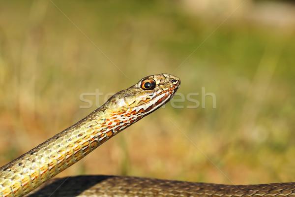 Oriental serpiente retrato color jóvenes cabeza Foto stock © taviphoto
