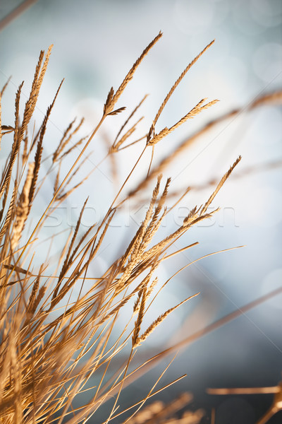Dry grass in sun Stock photo © Tawng