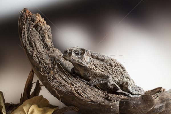 Rospo cocco macro ritratto vecchio pelle Foto d'archivio © Tawng
