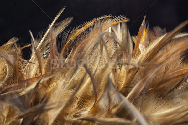 Chicken feathers Stock photo © Tawng