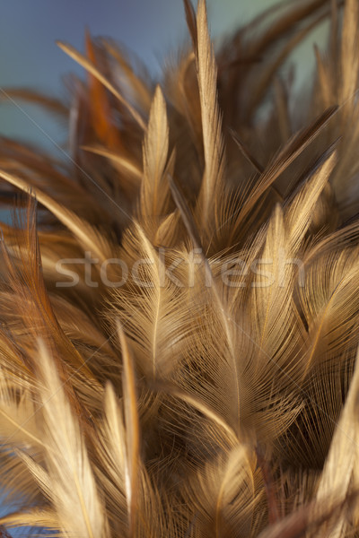 Chicken feather duster Stock photo © Tawng