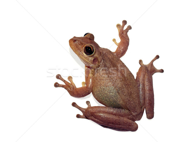 tree frog of florida Stock photo © tdoes