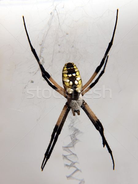 spider Stock photo © tdoes