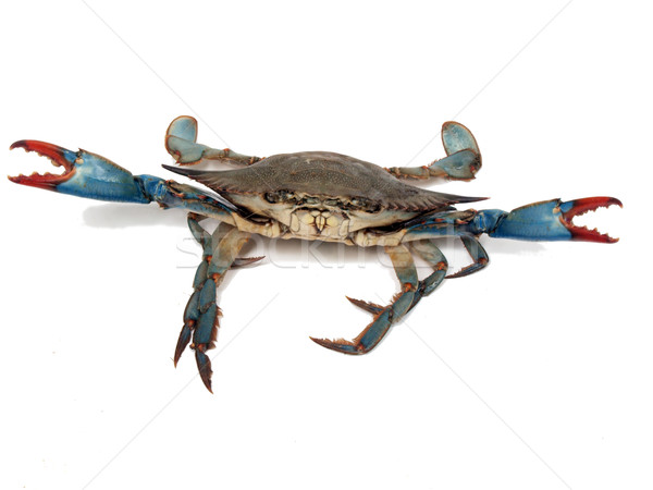 blue crabs in fight pose 2 Stock photo © tdoes