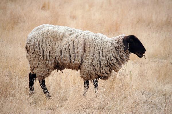 Czarny owiec stałego brązowy wiosną trawy Zdjęcia stock © TeamC