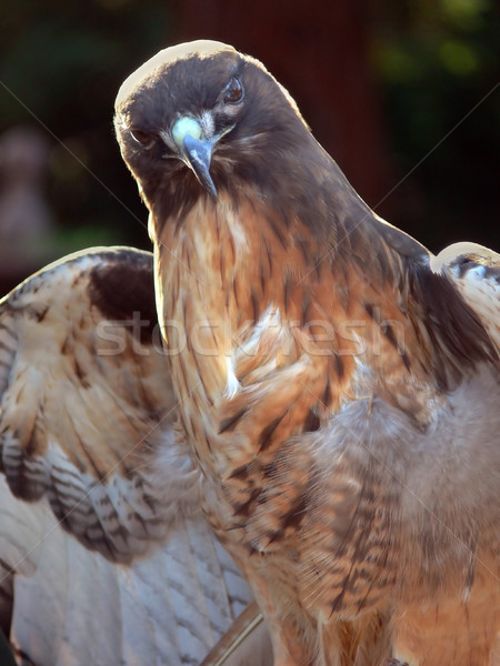 Red Tail Hawk Stock photo © TeamC