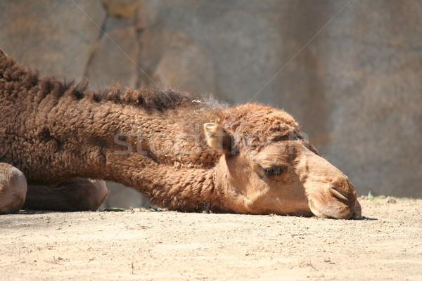 Wielbłąda głowie smutne patrząc ziemi biały Zdjęcia stock © TeamC