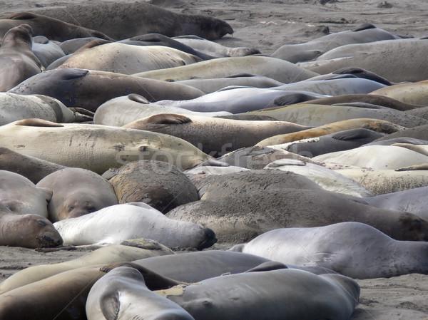 Słoń plaży charakter morza zwierząt pieczęć Zdjęcia stock © TeamC