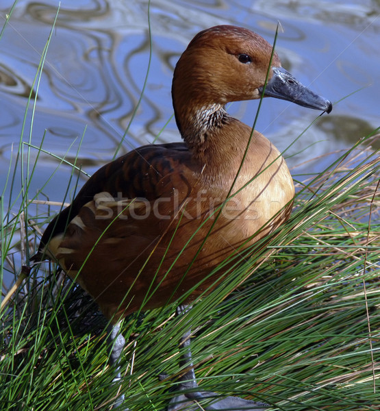 Fulvous Whistling Duck Stock photo © TeamC