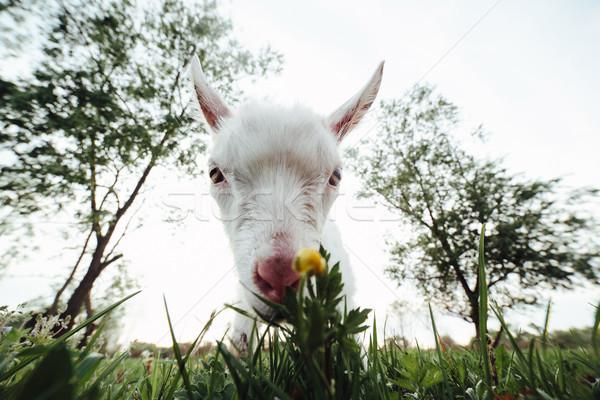 Viendo cámara animales pradera mirando Foto stock © tekso