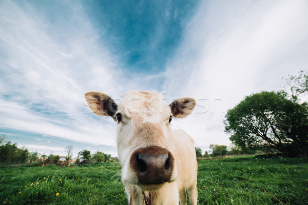 Fiatal tehén néz közvetlenül kamera állat Stock fotó © tekso