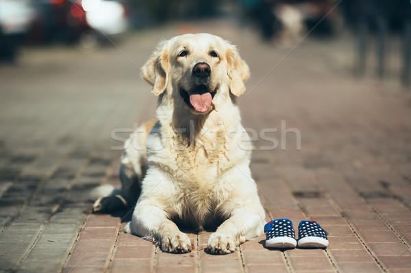 dog waiting for the owner Stock photo © tekso
