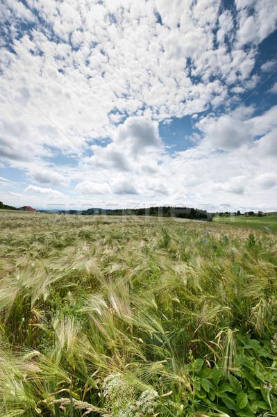 Felhőkép kukoricamező tavasz természet tájkép nyár Stock fotó © tepic