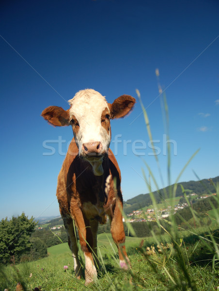 Calf in Austrian Country Stock photo © tepic