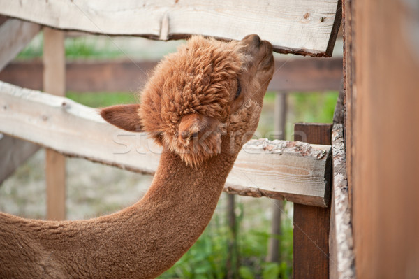 Alpaca nibble on wooden tiles Stock photo © tepic