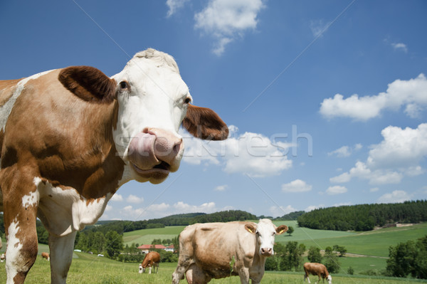 Cow with long Tongue Stock photo © tepic