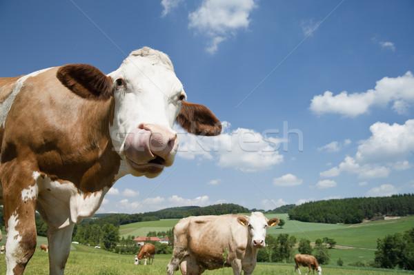 Koe lang tong mooie landschap hemel Stockfoto © tepic