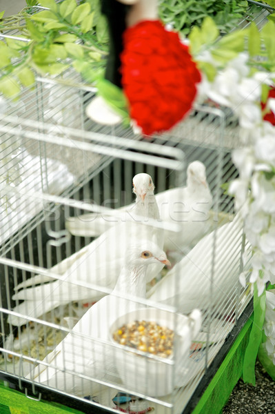 Doves waiting for Wedding Ceromony Stock photo © tepic