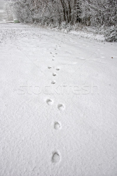Spoors of a Deer in Snow Stock photo © tepic
