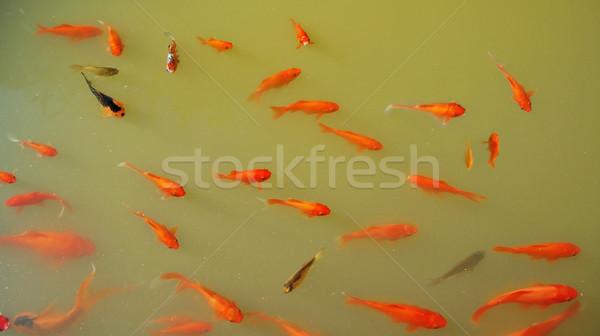 Goldfish in a Pond Stock photo © tepic