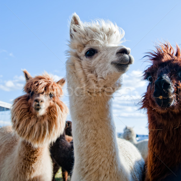 Three Funny Alpacas Stock photo © tepic