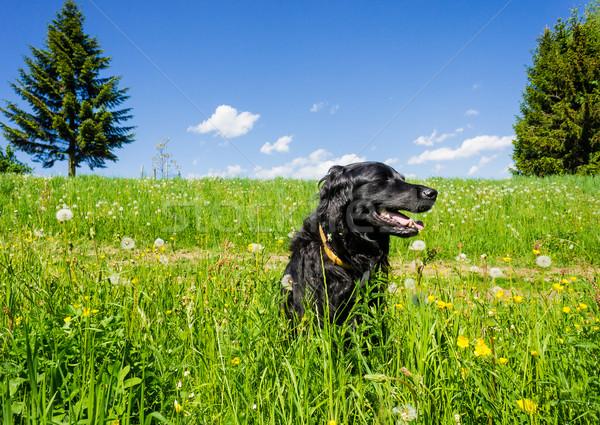 Cane seduta estate prato nero labrador Foto d'archivio © tepic