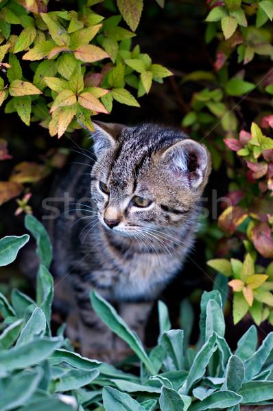 Singolare cat guardare fuori Bush giardino Foto d'archivio © tepic